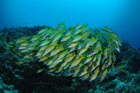 yellowsnapperfotolia